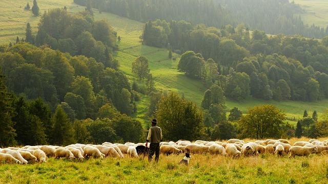 les, ovce, ovčák, pes
