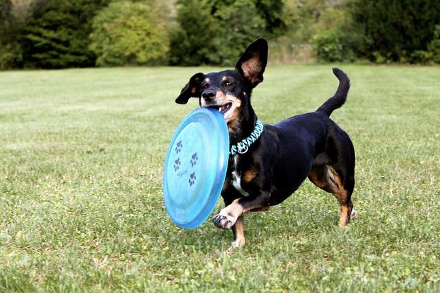 jezevčík a frisbee